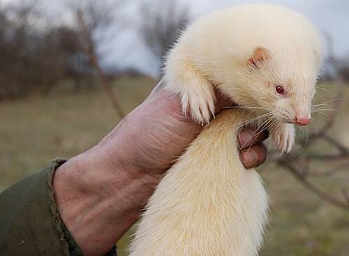 Resultado de imagen para marmota albina