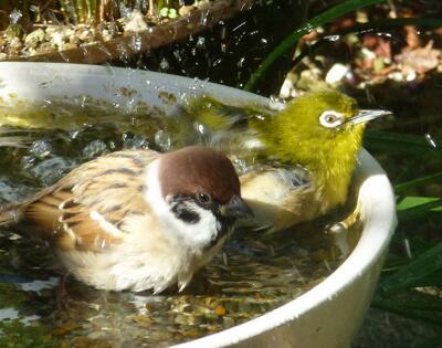 なんと!スズメ君とメジロ君の混浴です。