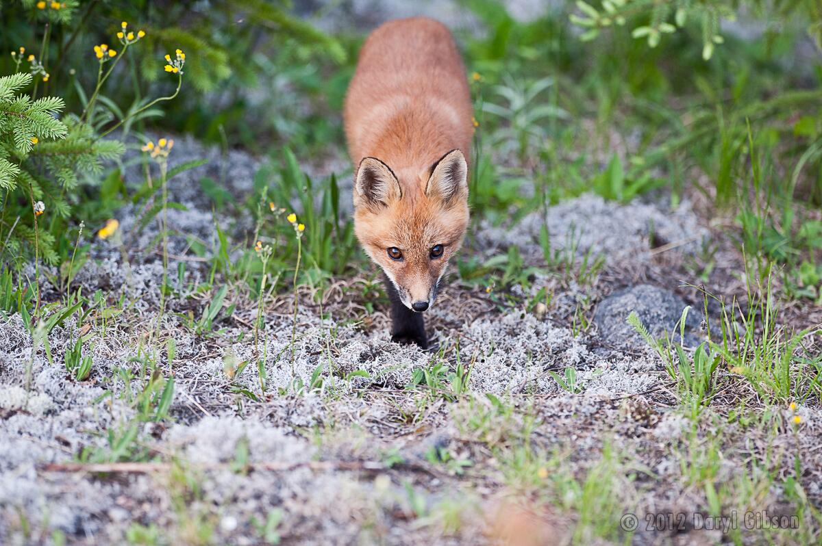 ROM Wildlife Photographer of the Year > All media > #ROMWPY Red Fox Kit -  Algonquin Park - Ontario.