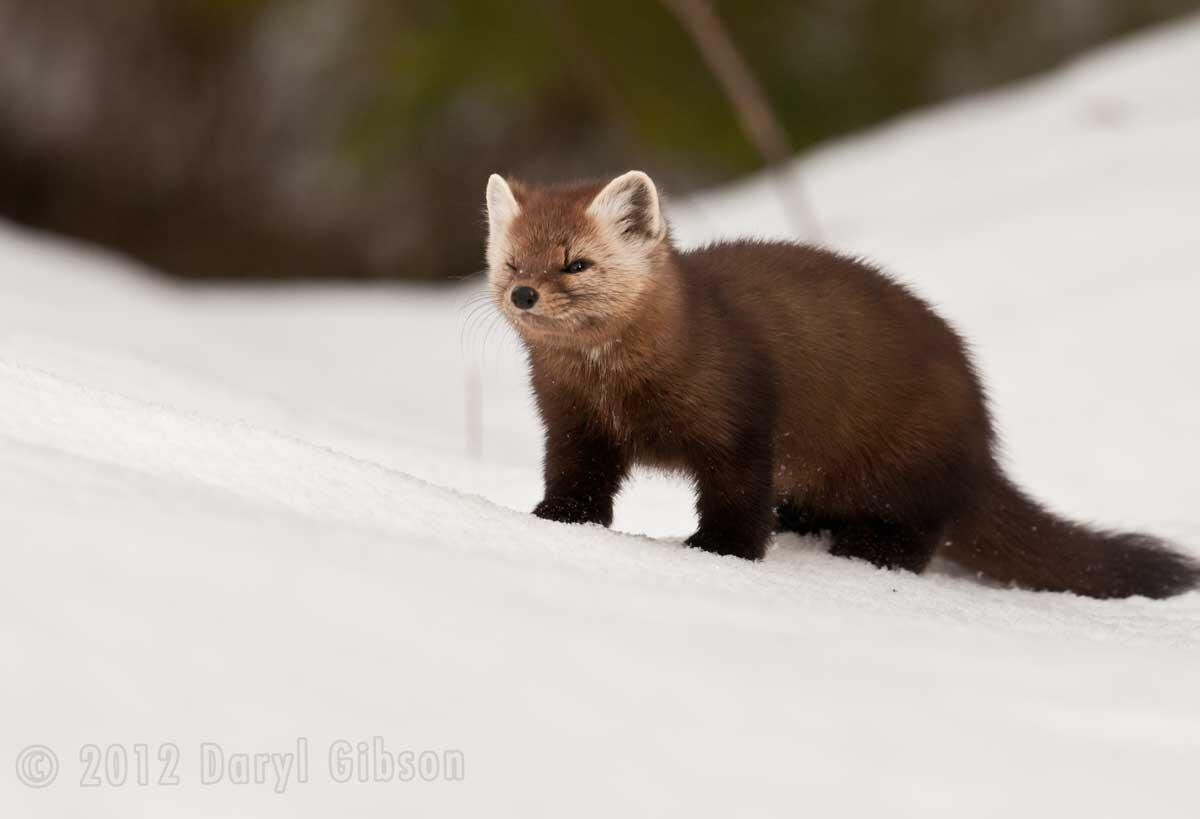 ROM Wildlife Photographer of the Year > All media > #romwpy Pine Martin -  Algonquin Park _ Ontario.