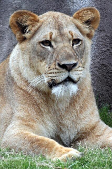 Male Lions Kill Female Lion at Dallas Zoo