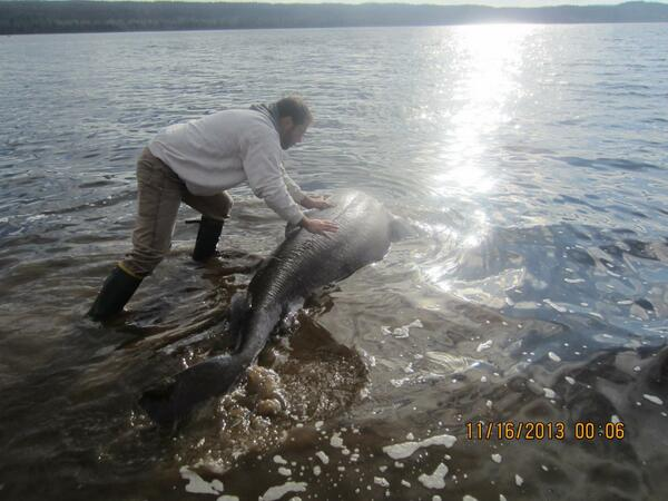 Shark Nearly Chokes To Death On Moose, Is Saved By Canadian Bystanders (PHOTOS)