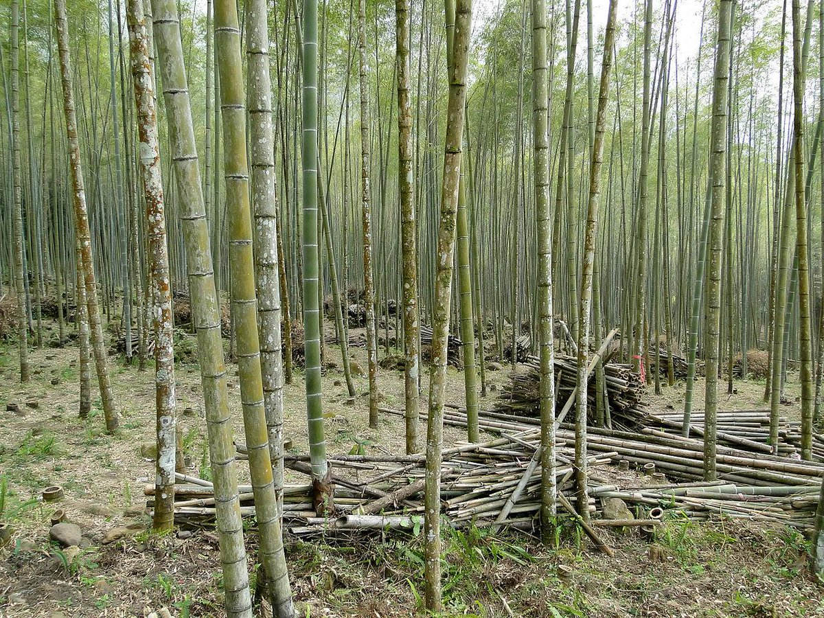 竹槍 そこへんの竹林からぱぱっと刈って終わり!というスーパーお手軽ウェポン。長さのお陰でかなり強力である。焼入れすると天然のカーボンファイバーになる超高性能素材なんだよなぁ・・・調達しやすいので農民が即席で武装するにはピッタリだぞ。