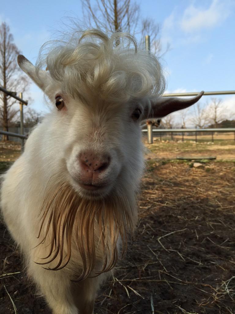 гифка с козами