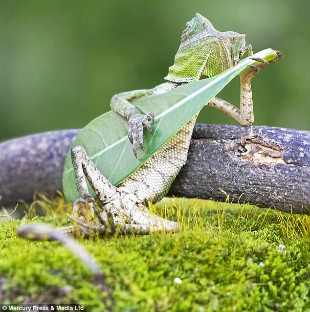 Tiny lizard caught on camera seemingly strumming a leaf http://t.co/eHDEV5ajNz http://t.co/ZdFOVo3M1O RT @MailOnline @05_ashton c @morgfair