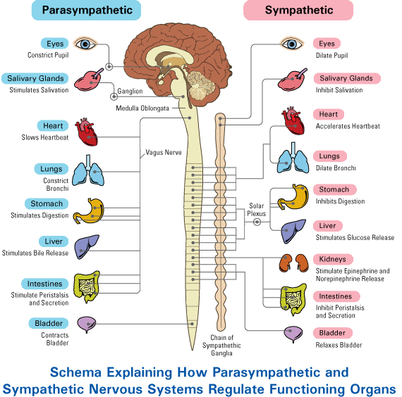 Ap psychology on twitter diagram sympathetic and parasympathetic ap psychology on twitter diagram sympathetic and parasympathetic nervous systems appsych httptyfnhlxwjhl ccuart Choice Image