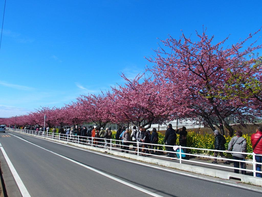 サスケストア (RT @sasukestore):三浦海岸 河津桜 人も花も満開♪ http://t.co/ZzwGmFuhVM (ここ→ http://t.co/AHbGSePwpw )