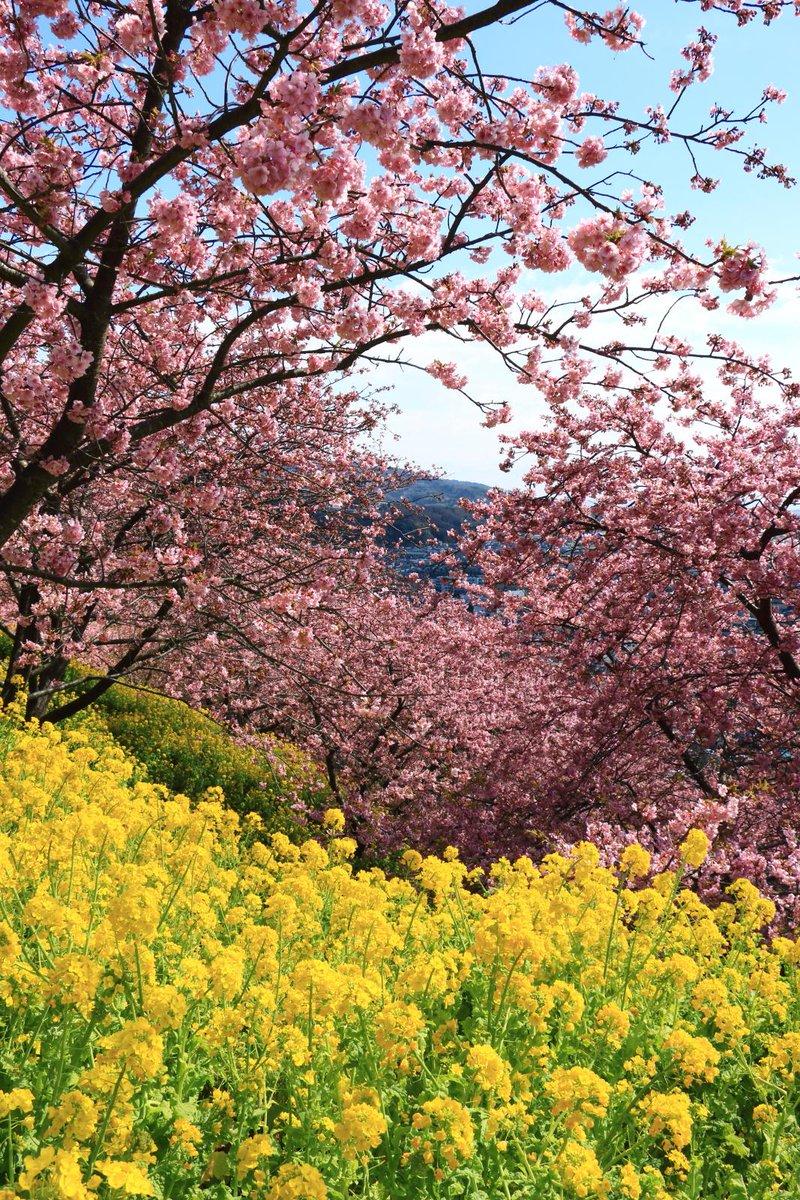 河津桜と菜ノ花の色華やかな風景。松田町の散策にて。 http://t.co/X9xndlDXO1
