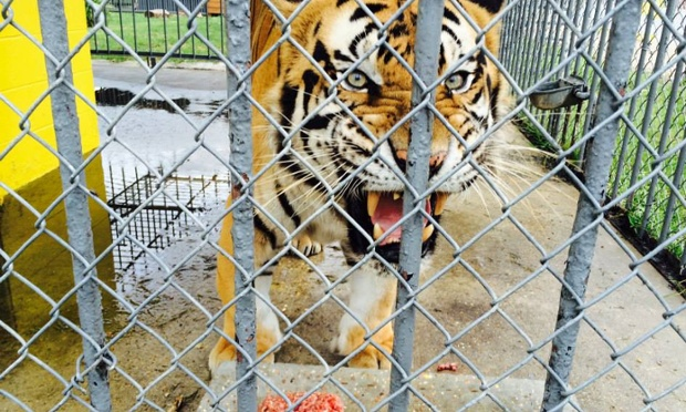 Don Lichterman: Tigers In Captivity, Tigers used For