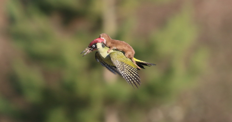 RT @BuzzFeed: Here's A Baby Weasel Riding A Woodpecker http://t.co/YA4mYJ5nM8 http://t.co/3LKveheGny