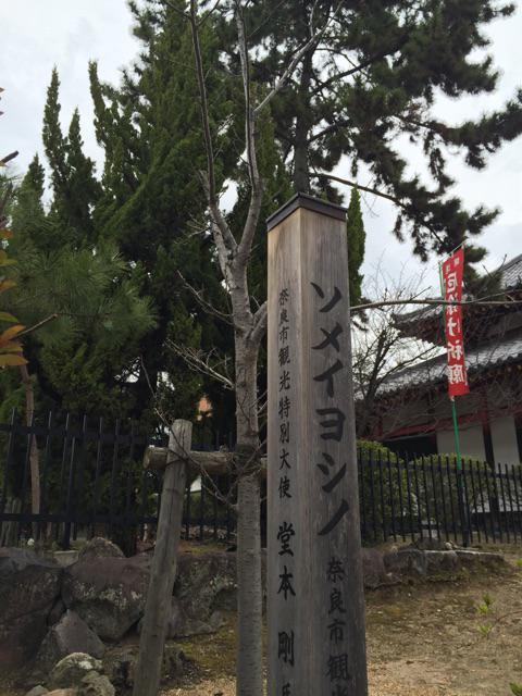 がんばれ西大寺剛桜 #奈良
