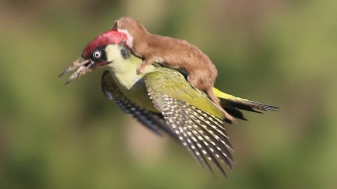 Woodpecker flying with weasel on its back ! http://t.co/Xb2Eu6a6Oj http://t.co/sg19vuzVCi