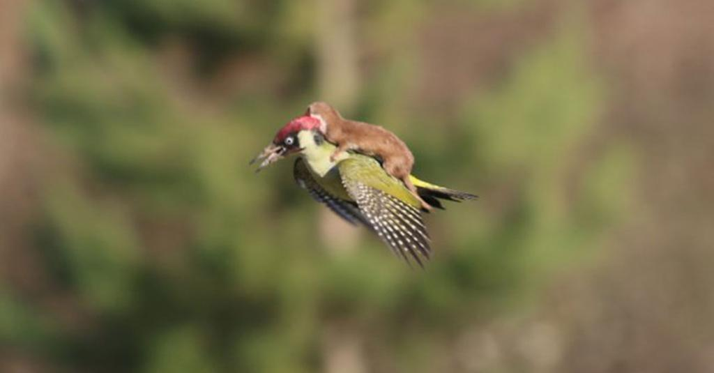 Oh nothing, just a photo of a weasel riding a woodpecker while trying to eat it http://t.co/WrfPXP8TBH http://t.co/dpT6zUYiT5