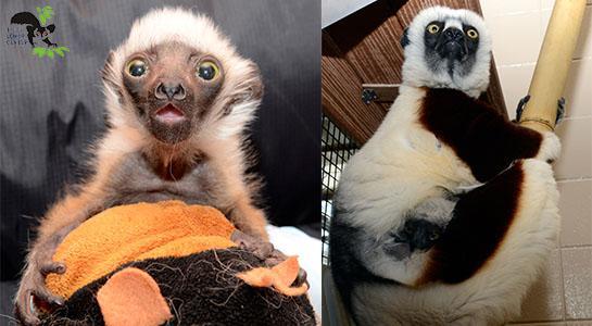 Ο χρήστης Duke Lemur Center στο Twitter: