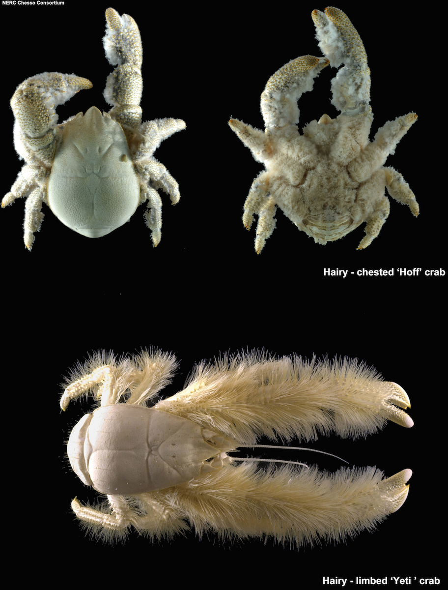 how a blind bristled heatloving yeti crab thrives in - HD 912×1200