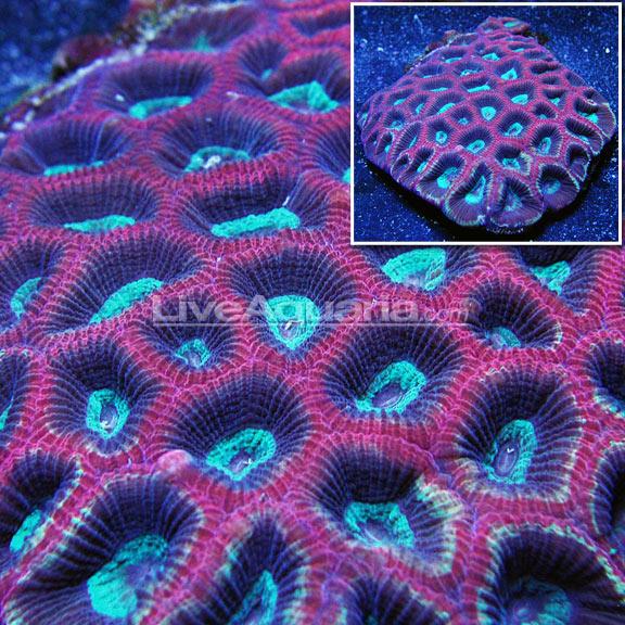 Liveaquaria on twitter dd sneak peek australian reverse prism dd sneak peek australian reverse prism goniastrea brain coral indonesian flowerpot coral httpbitdiversdenwysiwyg picitterx5mzpnn3ks mightylinksfo Choice Image