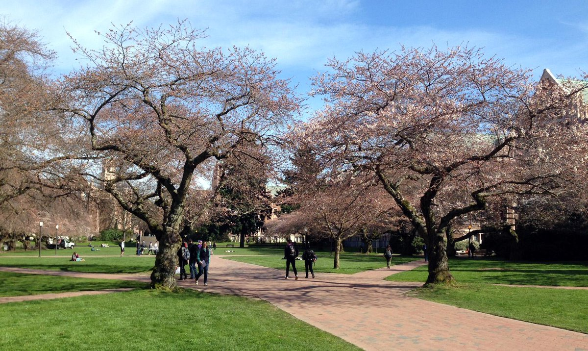 The wait is over: @UWcherryblossom trees in the @UW Quad are starting to bloom! http://t.co/l13dAHSacC http://t.co/sMnip1mbzJ