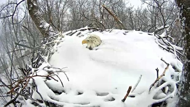 As snow builds, bald eagle parents endure #RMEF #BaldEagle #HomeoftheBrave  See images here: http://t.co/Kbon1CVOPJ http://t.co/AjEeKwEXUq