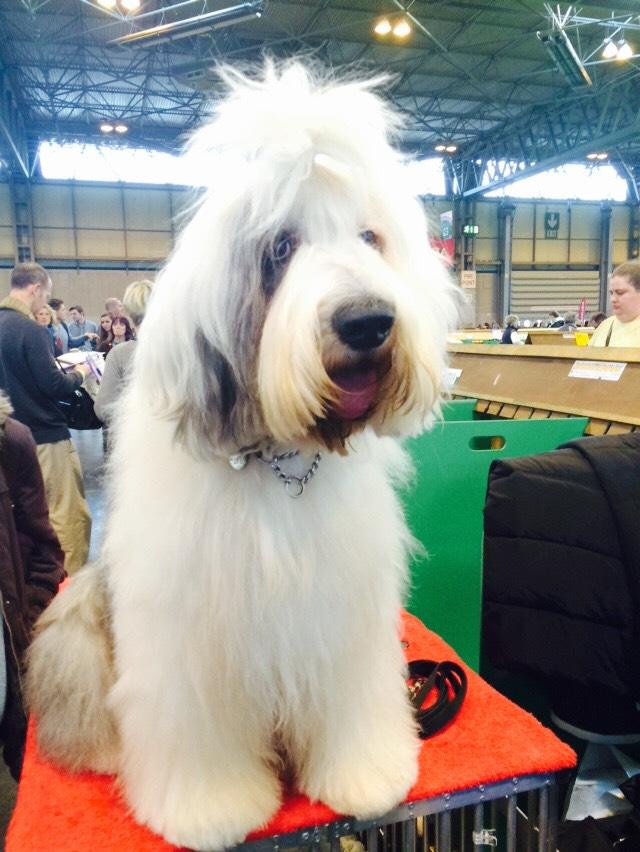 This is Roscoe the Old English Sheepdog. He didn't win anything today but he's lovely #Crufts http://t.co/up1ue4qUUy