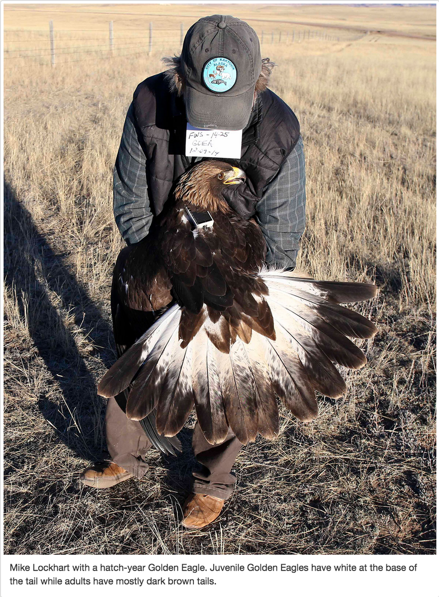 Were putting transmitter on Golden #Eagles to understand full life cycle/movement http://t.co/95iU10Teg3 #ornithology http://t.co/3TybAECVKr