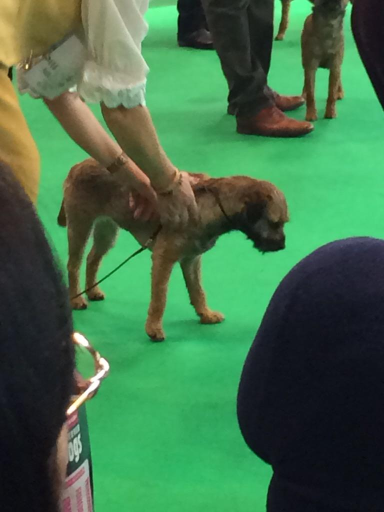 Showing is not for all border terriers sometimes the carpet is more interesting #BTposse #Crufts2015 http://t.co/MHAVSHs9Fm