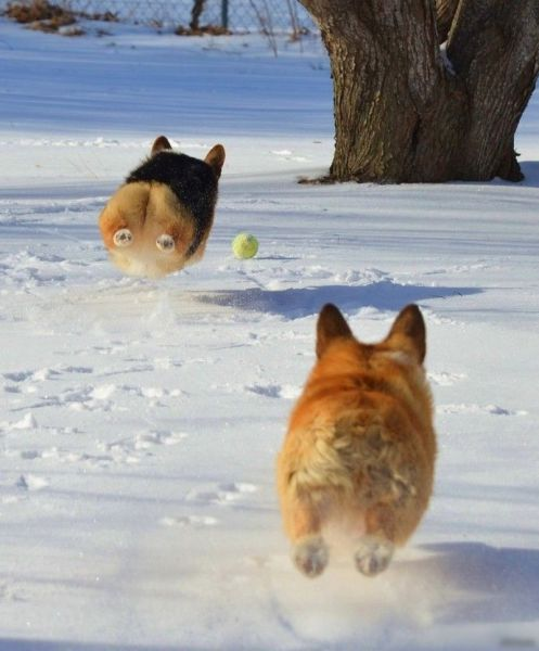 Not feeling like it's Spring yet.. #SpringStyle #winter #SoCold #freezing #ColdWeather #pets #dogslife #corgis http://t.co/jz0OFfwQzT