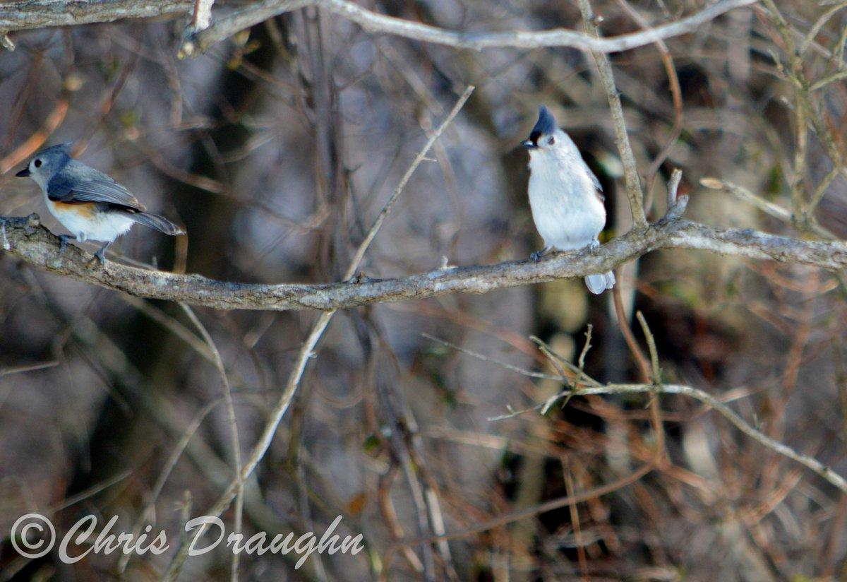 Tufted Titmouse wp.me/p55M6w-kw via @wordpressdotcom #photography #birding #CromwellValleyPark