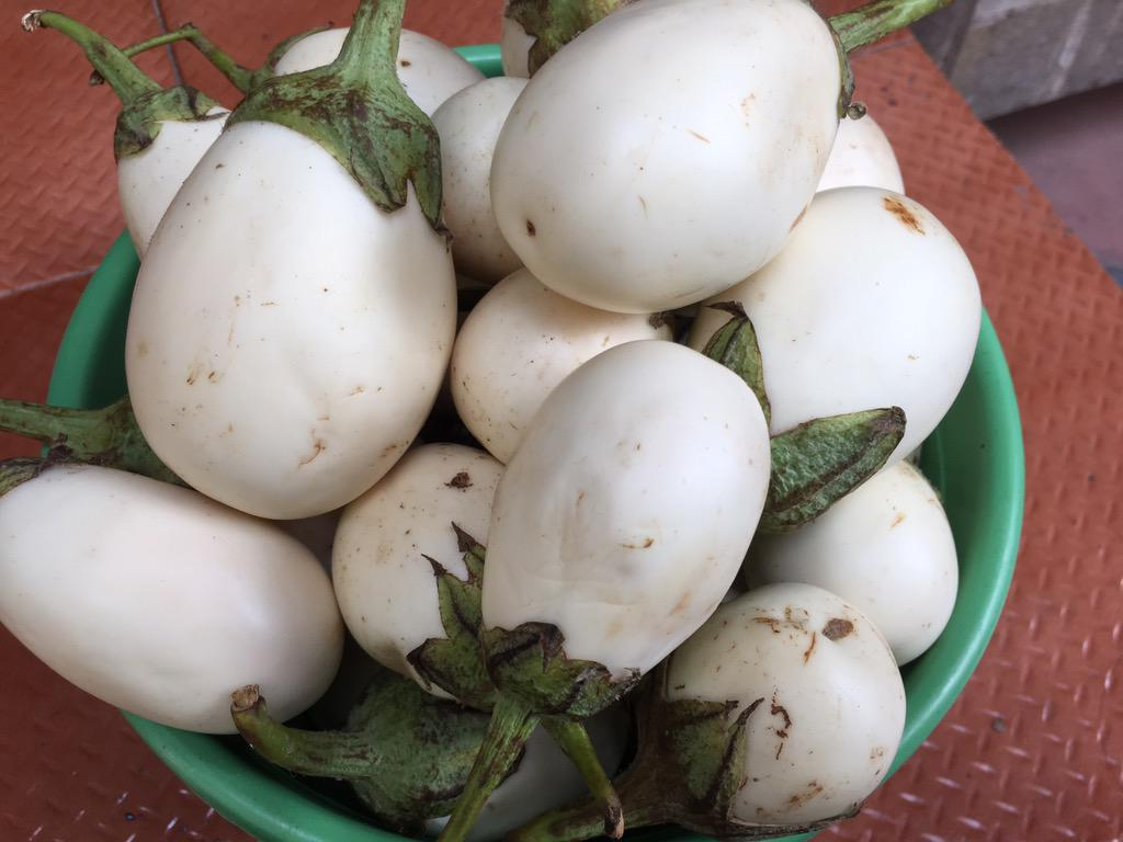 In case you were wondering why it was called eggplant, the legendary White brinjal from Tirunelveli http://t.co/Txu84oN9Ca