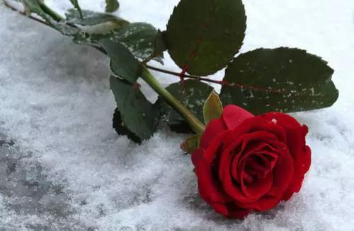 Joma castillo on twitter feliz luness urbebikini - Rose in snow wallpaper ...