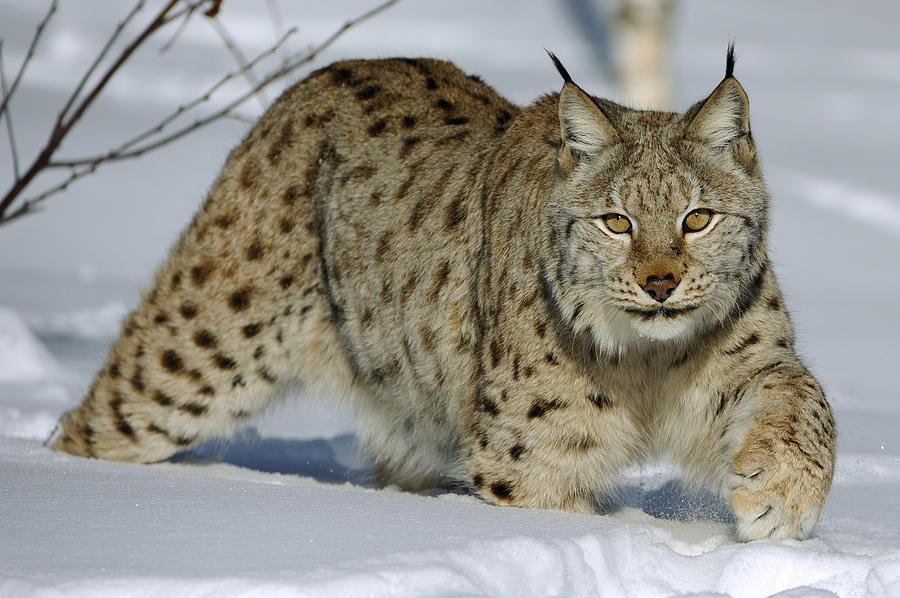 """@Protect_Wldlife Excellent! #Lynx reintroduction into the UK! @WildlifeExtra http://t.co/tZuyGzcVQY http://t.co/wLgyNpKGNW"" @RichardpPhoto"