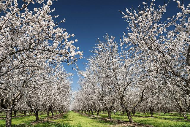 Spring in Ibiza is magical, the beauty of the Almond tree blossom is a unique sight! #ibiza2015 #spring2015 #blossom http://t.co/HqTz5mD2Rt
