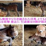 Image for the Tweet beginning: 親から無理やり引き離された仔馬 とても寂しい  競馬は悲惨 禁止に  引退後は9割が殺される
