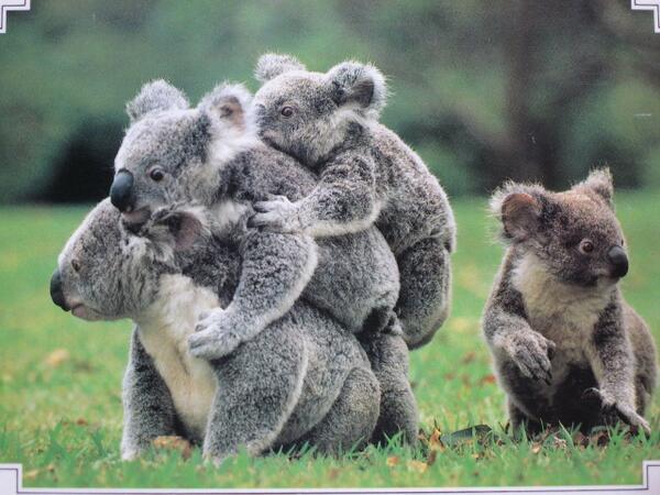 仲良しコアラ