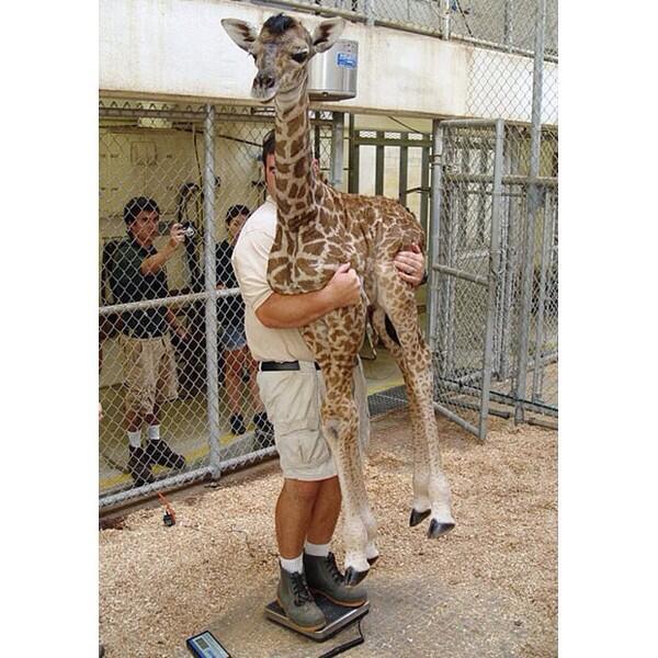 キリンの赤ちゃんの体重測定かわいい