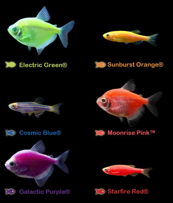 "GloFish® on Twitter: ""Which color do you like:Electric ..."