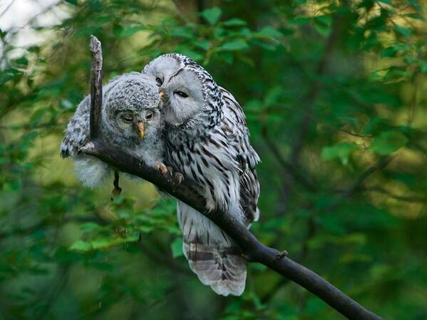 """@lilyamor72: ""@1_Scorcher: ""@AMaddy2: ""@SuzanneLepage1: Ural Owl! http://t.co/FD7vNCMs68"""" #owl"" @,@)/^"""