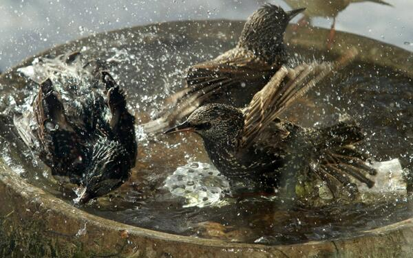 European Starling flock invaded our heated birdbath today, even though 0ºF. #Chicago suburbs. #birds http://t.co/K21MpYACy4