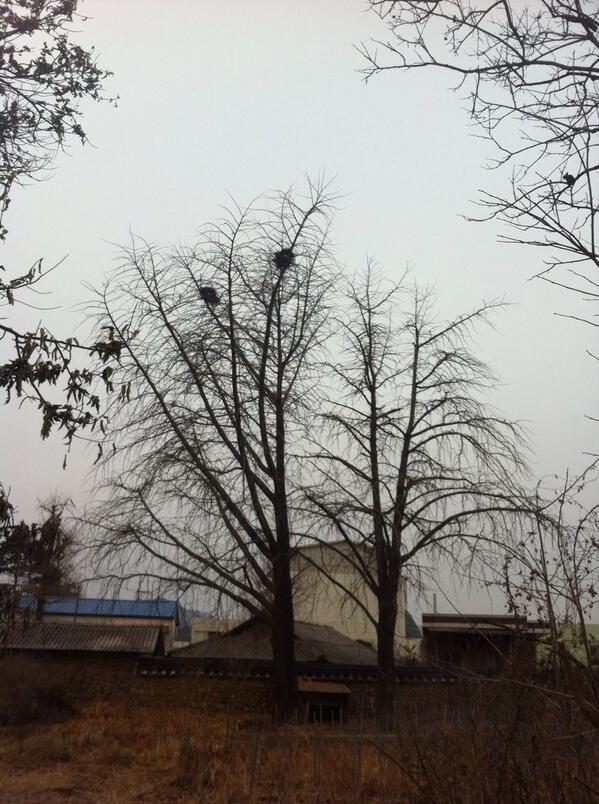사괴당에 있는 은행나무입니다. 왼쪽은 숫 은행나무.  오른쪽은 암 은행나무. 가지 뻣은 것을 보세요.  자연이 우리에게 주는 교훈입니다.  남자가 무조건 양보해야 세상이 편하다! ㅋㅋㅋ http://t.co/IrDuy0G7J7