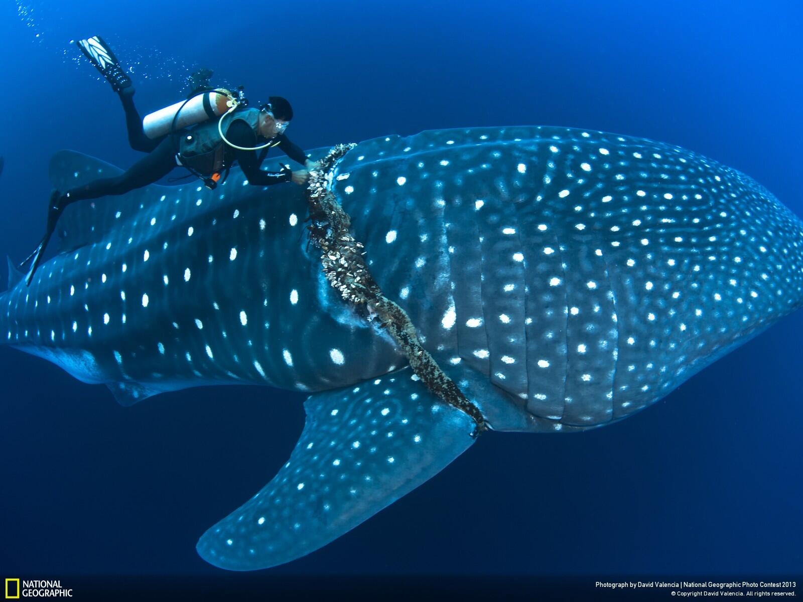 Twitter / NatGeo: Photo: Diver frees a whale ...