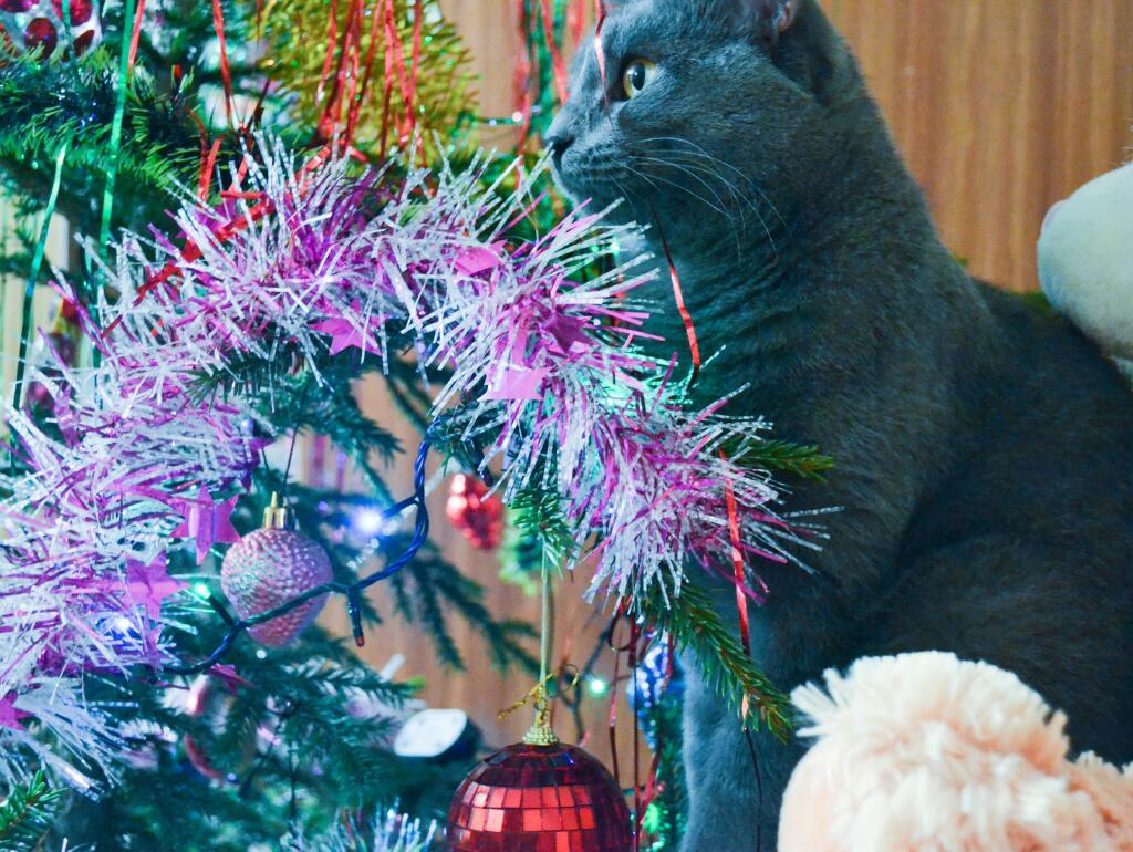 британские кошки и елки фото фото азиаток