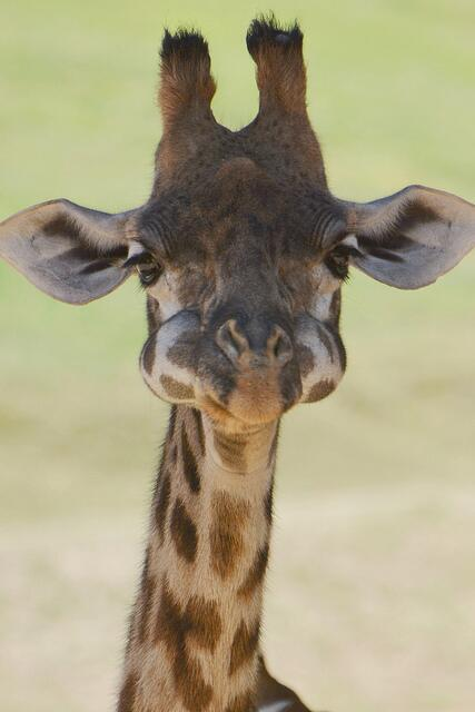 A baby giraffe with his mouth full. http://t.co/kqAqXcBSzC