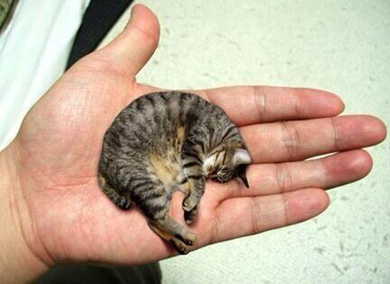 Itse Bitse と呼ばれる2歳のイエネコは、2003年11月24日現在、体高9.52センチ、頭から尻尾までも48.7センチで、2004年10月、ギネスに生存中の最小猫に認定された。