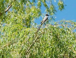 Fork tailed flycatcher - Barreal - San Juan Argentina http://t.co/Vm9qUusfwm