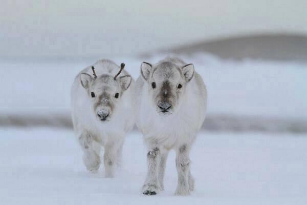 """WOW  >>   RT @AnnieBaker78: """"@GraceMurphy2: """"@SuzanneLepage1: Baby Reindeer! http://t.co/9nXSFiPmZI"""" Gorgeous!""""OMG precious!"""