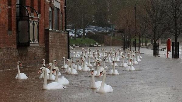 "Tormenta #Dirk: Cisnes nadando sobre las inundaciones de Worcester en #UK. Vía @thestormreport de @MeredithFrost: http://t.co/p9iJEqFgGB"""