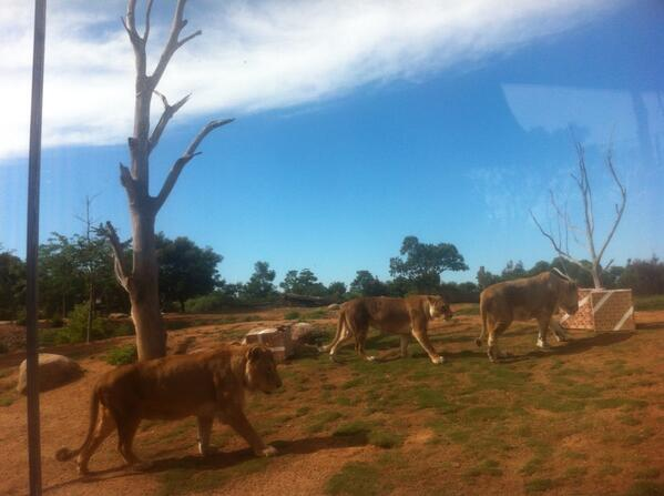 Presents time for the lions at Werribee Open Range Zoo. #christmas @abcnews http://t.co/hSMrsjP2jL