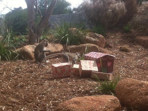 Vervet Monkeys, their gingerbread house & chickpea flour gingerbread for #Christmas at Werribee Zoo @abcnews http://t.co/Se65oRR0W2