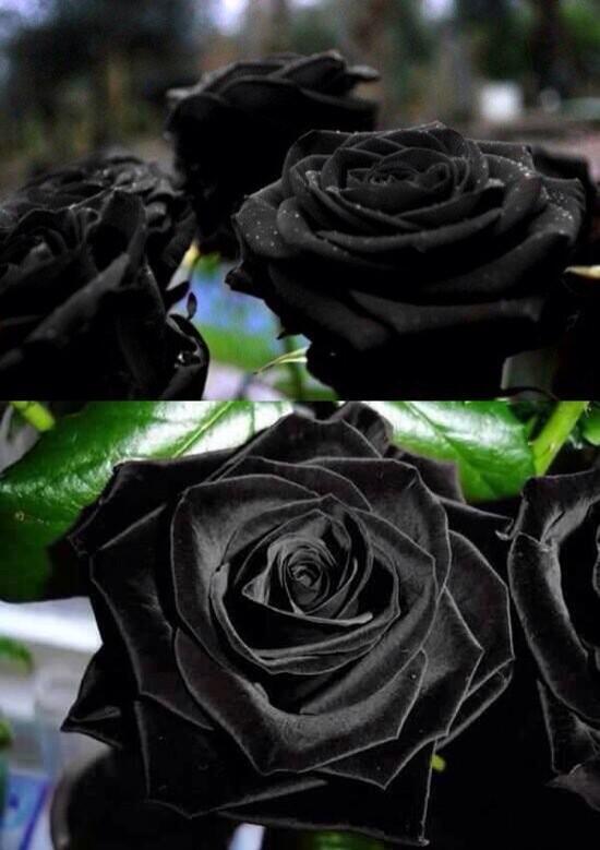 غرائب حول العالم On Twitter Quot الورد الأسود التركي Turkish
