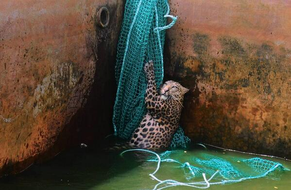 """""""@Know: Leopard rescued from a water reservoir tank. http://t.co/FV4WnIYQj8""""INSANE BEAUTIFUL PIC!"""