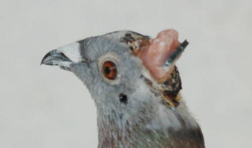 ロボット鳥(机器人鸟)。中国にある山東科技大学の研究センターによる生物のハトを改造手術して制作されたサイボーグの鳥。ハトに人工的な制御システムを埋め込むことで離陸および着陸をコントロール可能とのこと。